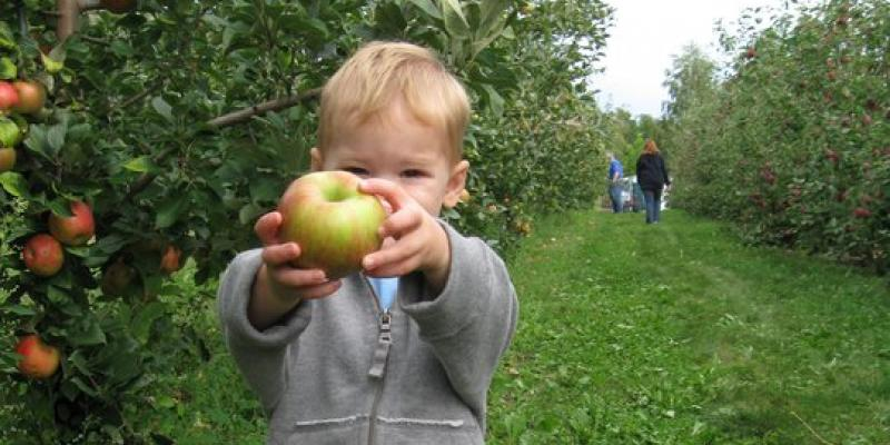 Apple picking at Reisinger's